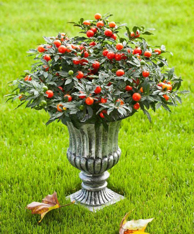 Комнатный паслен обожает свежий воздух, на лето его лучше перемещать в сад или на балконы