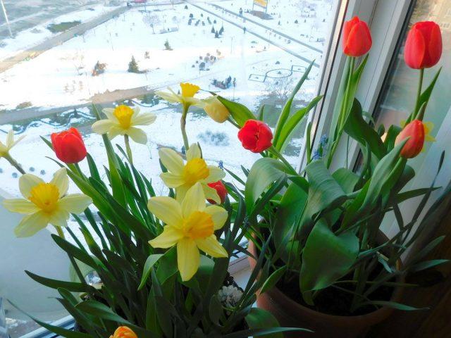 Выгонка луковичных — это процесс стимулирования их цветения в нетипичные сроки