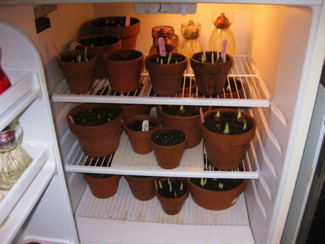 От 10 до 16 недель в холоде и темноте — первая стадия выгонки луковичных
