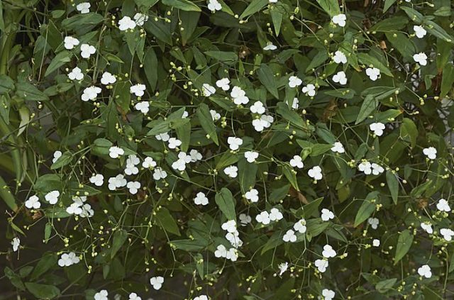 Традесканция гибазис привлекательна и как почвопокровное растение