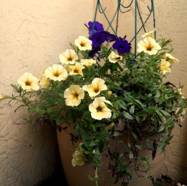 Традесканцию гибазис я выращивала в составе кадочной композиции из однолетних растений