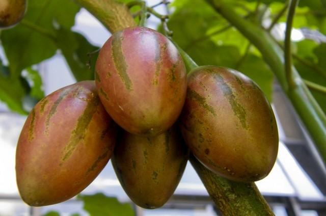 Цифомандра свекольная (Cyphomandra betaceae)
