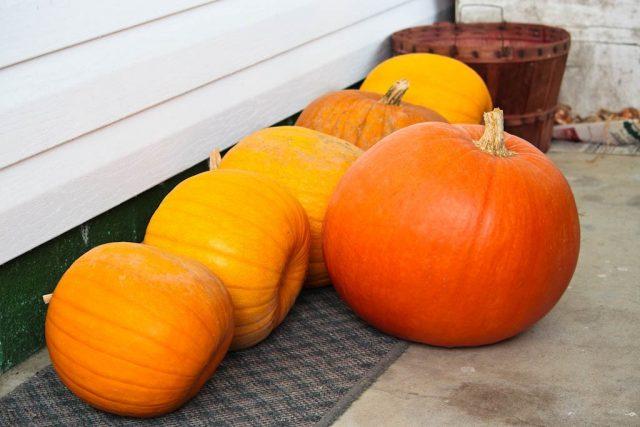 Для правильного хранения созревшие тыквы надо срезать вместе с плодоножкой длиной 5-6 см и дать предварительно полежать пару дней где-нибудь на улице