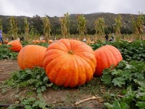 Правильно подготовив участок, огородник сможет вырастить большие и аппетитные тыквы