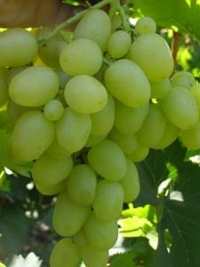 Форма винограда данного сорта - овальная