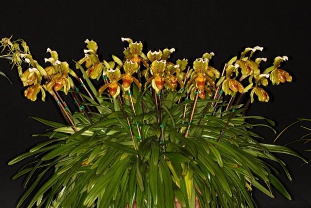 Пафиопедилум замечательный (Paphiopedilum insigne). © John Varigos