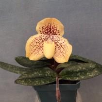 Пафиопедилум хорошенький (Paphiopedilum conco-bellatulum)