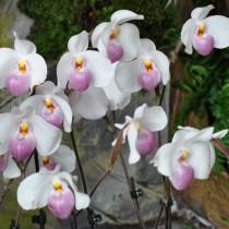 Двухцветковая орхидея пафиопедилум Делената (Paphiopedilum delenatii)