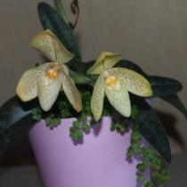 Пафиопедилум одноцветный (Paphiopedilum concolor)