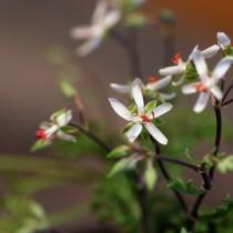 Пеларгония роголистная (Pelargonium ceratophyllum)