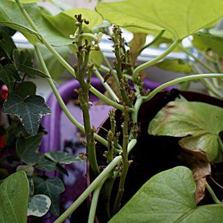 Молодые побеги с укороченными междоузлиями и мелкой корявой листвой, точки роста отмирают, растение полностью остановилось в росте