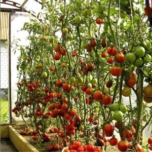 Северные сорта помидор любят все садоводы