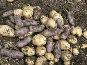 Плоды картофеля, выращенного в мешках