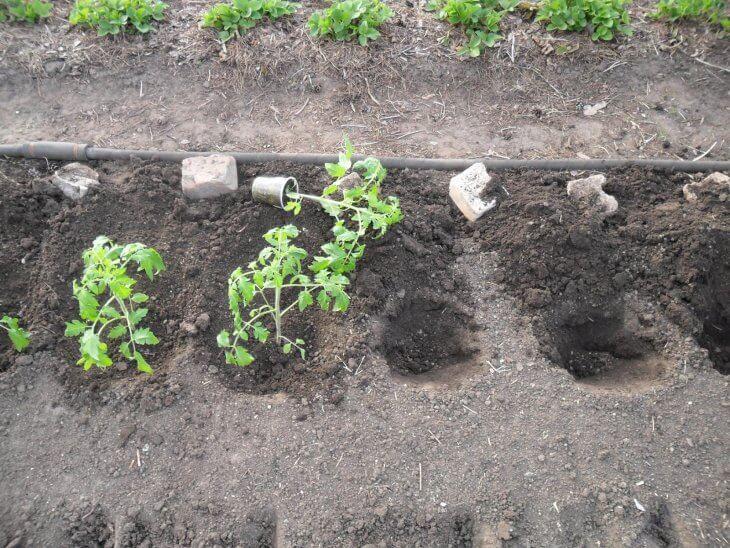 Высадка рассады томатов на грядку