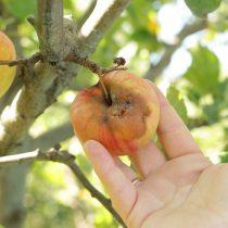 Плодовая гниль яблока (монилиальная гниль, монилиоз)