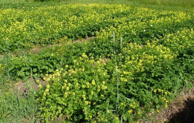 Использование сидератов является эффективным способом защиты и подготовки почвы к новому сезону без перекопки