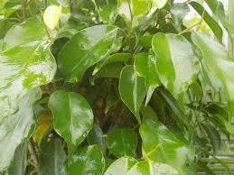 листва фикуса