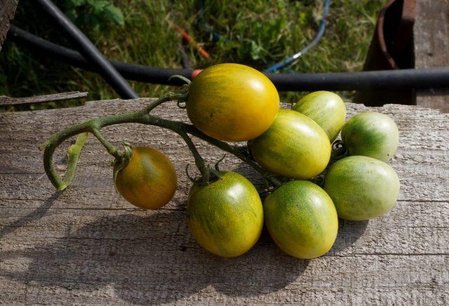 Томаты черри «Зелёный виноград» (Solanum lycopersicum var. Cerasiforme 'Green Grape')