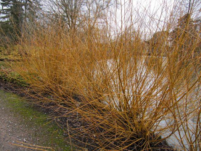 Ива белая «Голден Несс» (Salix alba 'Golden Ness')